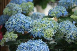 花,水色,紫陽花,梅雨,6月,形原温泉,アジサイ,蒲郡