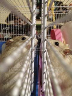 檻の中の齧歯動物の写真・画像素材[974994]