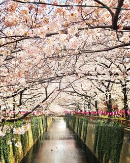 春,桜,花見,さくら,ブロッサム,中目黒川