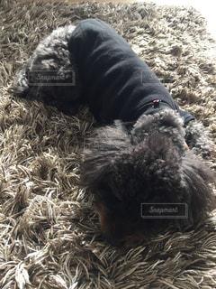 絨毯と一体化する黒トイプーの写真・画像素材[975737]