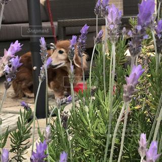 紫の花を持つ犬の写真・画像素材[1406792]