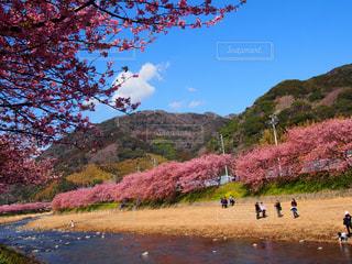 満開の河津桜の咲く川沿い散歩の写真・画像素材[1406801]