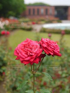 自然,花,バラ,薔薇,バラ園,休日,おでかけ,散策
