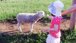 羊さん「あ〜ん!」の写真・画像素材[1021368]