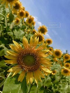 自然,空,花,夏,ひまわり,黄色,鮮やか,向日葵,蜂,ひまわり畑,カラー,色,黄,ハチ,草木,yellow
