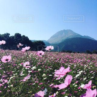 風景,空,花,秋,屋外,コスモス