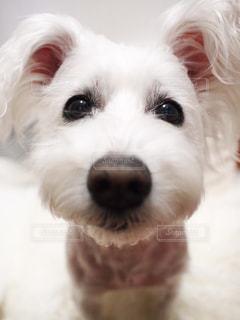 カメラを見て茶色と白犬 - No.1004822