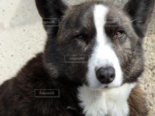 ダンディーな愛犬(コーギー)の写真・画像素材[984241]