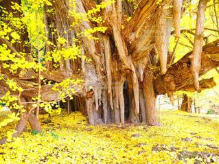 巨木の変幻の写真・画像素材[987470]