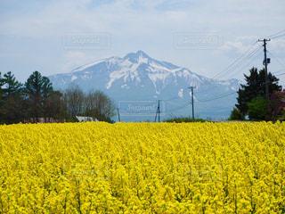 背景の山をフィールドに黄色の花の写真・画像素材[1002758]