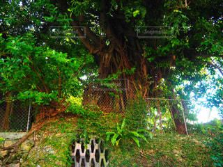 フォレスト内のツリーの写真・画像素材[1165244]