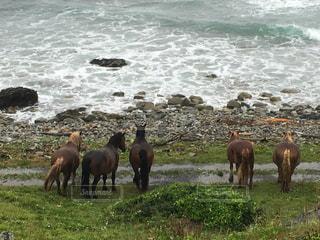 ビーチの上に立っている牛群の写真・画像素材[1409046]