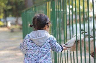 ヤギに餌をあげる女の子の写真・画像素材[985270]
