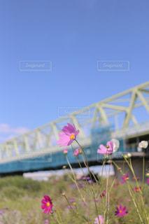 秋桜と鉄橋の写真・画像素材[1252925]