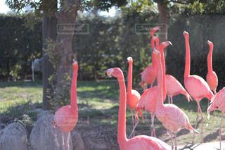 動物園のフラミンゴの写真・画像素材[1792720]