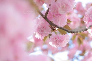 4月の関山ですの写真・画像素材[1793337]