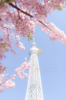 河津桜とスカイツリーの写真・画像素材[1834236]