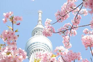 河津桜とスカイツリーの写真・画像素材[1834237]