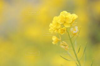 菜の花畑の写真・画像素材[1843148]