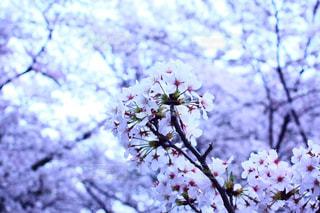 木の枝に紫色の花のグループの写真・画像素材[1124696]