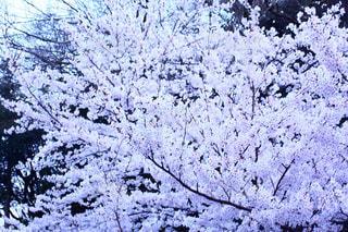 地面の雪の木の写真・画像素材[1124709]