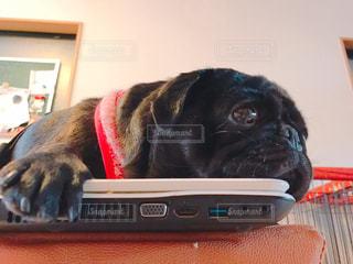 パソコンの上に寝ている犬の写真・画像素材[982436]