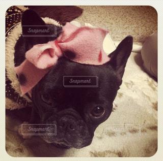 リボン,フレンチブルドック、フレブル、犬、いぬ、イヌ,りぼん、ピンク、