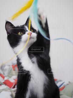 おもちゃで遊ぶ子猫の写真・画像素材[1002075]