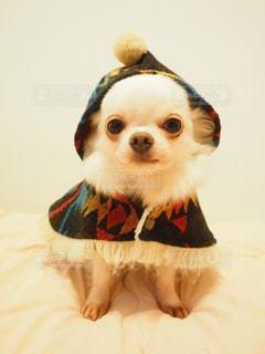 犬,動物,チワワ,屋内,白,かわいい,ホワイト