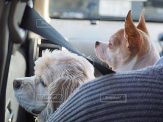 女性,犬,動物,チワワ,屋内,車内,仲良し,いぬ,アメリカンコッカースパニエル,おでかけ,わんちゃん,イヌ,アメコ