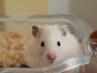 動物,ハムスター,屋内,かわいい,茶色,可愛い,ベージュ,ミルクティー,ミルクティー色