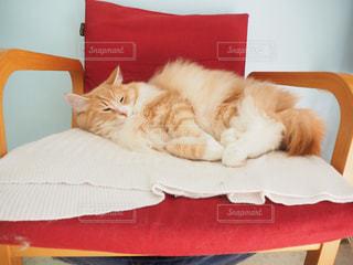 猫,動物,屋内,赤,白,かわいい,茶色,ふわふわ,ねこ,可愛い,ベージュ,猫カフェ,ノルウェージャンフォレストキャット,ミルクティー,ネコ,ミルクティー色