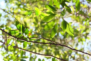 木の枝からの日差しの写真・画像素材[991230]