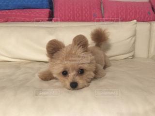 ベッドの上で横になっている子犬の写真・画像素材[984202]