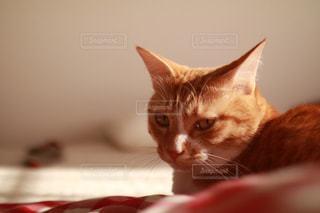 ベッドの上で横になっているオレンジと白猫の写真・画像素材[984362]