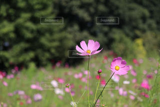 自然,風景,花,カメラ,屋外,コスモス