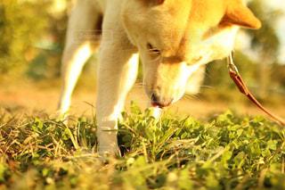 芝生の上の犬の地位の写真・画像素材[995662]