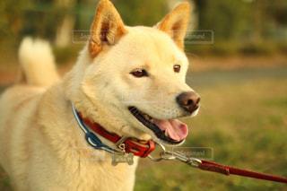 その口でフリスビー犬の写真・画像素材[995663]