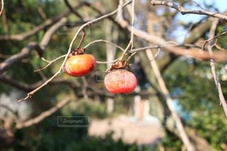 枝の上に座って赤いリンゴの写真・画像素材[1465555]