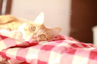 ベッドの上で横になっているオレンジと白猫の写真・画像素材[1621821]