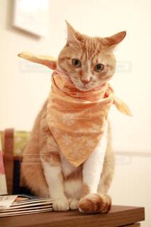 猫,ペット,バンダナ,ミルクティー,ミルクティー色