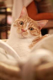 猫,ペット,ミルクティー,ミルクティー色