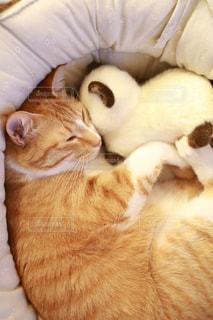 猫,LOVE,カップル,ペット,ミルクティー,ミルクティー色