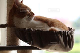 猫,動物,屋内,ペット,ミルクティー,ミルクティー色