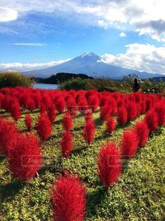 富士山とコキアの写真・画像素材[1624611]