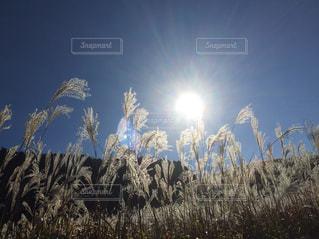 太陽,晴れ,晴天,日差し,すすきの原