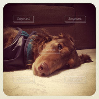 横になって、カメラを見ている犬の写真・画像素材[988762]
