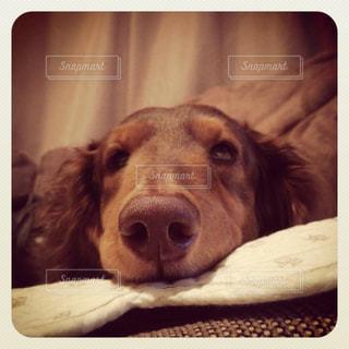 ベッドの上に横たわる犬の写真・画像素材[988766]
