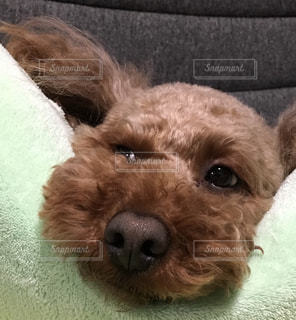 犬,ハート,癒し,トイプードル,鼻