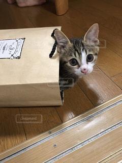 紙袋から顔を出す猫ちゃん🐱の写真・画像素材[986265]